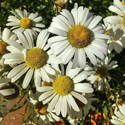 Photograph - Three Daisies by Garry McMichael