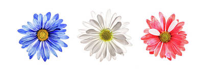 Photograph - Three Daisies With Blue Red And White Colors by Vishwanath Bhat