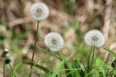 Photograph - Three Dandelions by Karen Adams