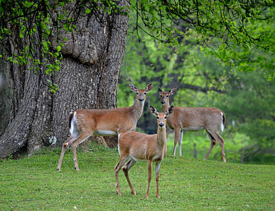 Photograph - Three Does - Whitetail Deer by rd Erickson