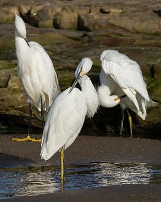 Three Egrets Preening Art Print by Bruce Frye