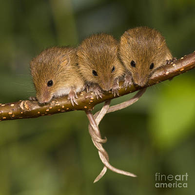 Mice Photograph - Three Eurasian Harvest Mice by Jean-Louis Klein & Marie-Luce Hubert