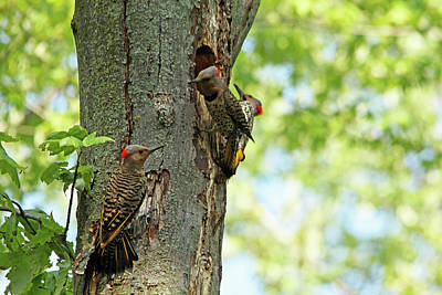 Photograph - Three Flickers by Debbie Oppermann