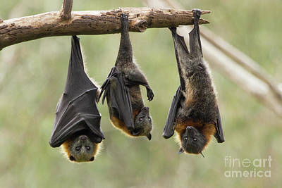 Photograph - Three Flying Foxes by Craig Dingle