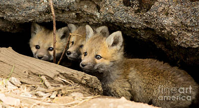 Fox Photograph - Three Fox Kits Peeking From Den by Natural Focal Point Photography