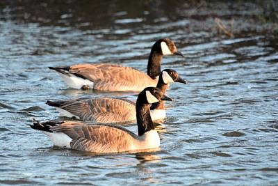 Photograph - Three Geese by Bonfire Photography