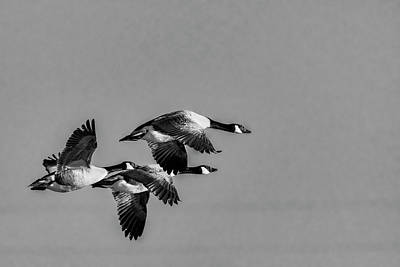 Photograph - Three Geese by Darren Wilkes
