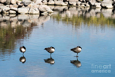 Photograph - Three Geese by Les Palenik
