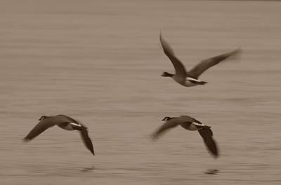 Photograph - Three Geese by Randy J Heath