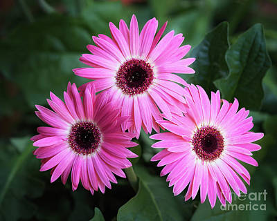 Photograph - Three Gerbera Dasies by Patrick M Lynch