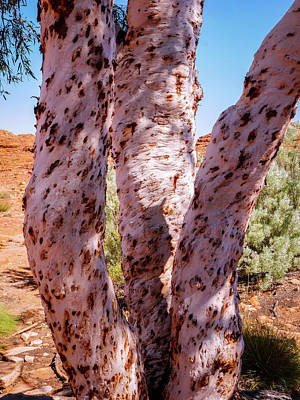 Photograph - Three Ghost Gum Trees - Kings Canyon, Australia by Lexa Harpell