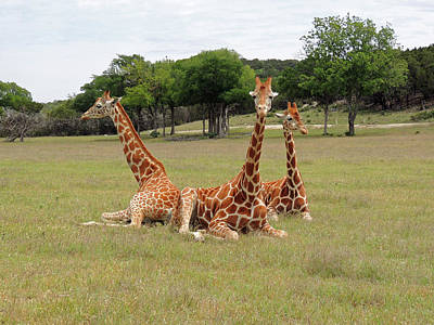 Photograph - Three Giraffe At Fossil Rim by Jayne Wilson