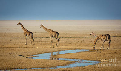 Three Giraffes Print by Inge Johnsson