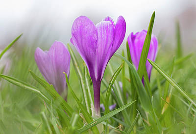 Photograph - Three Glorious Spring Crocuses by Betty Denise