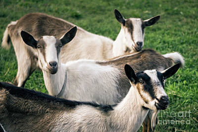 Photograph - Three Goats In Pasture by Jim And Emily Bush