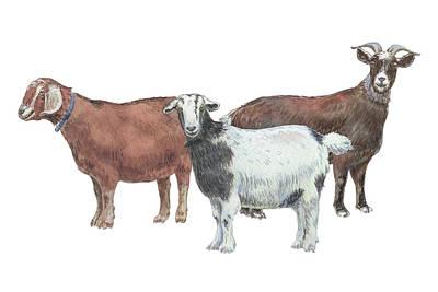 Painting - Three Goats Watercolor Illustration  by Irina Sztukowski