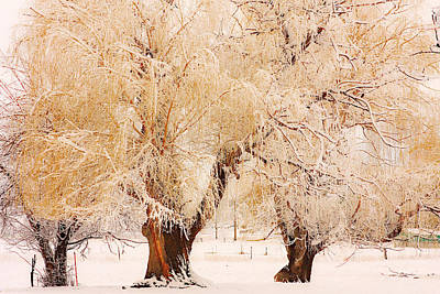 Bo Insogna Photograph - Three Golden Frosted Trees by James BO  Insogna
