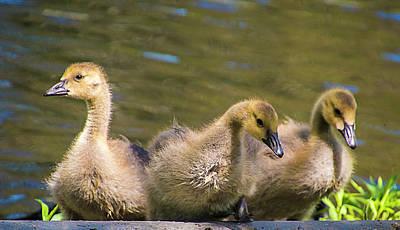 Photograph - Three Goslings by Cathy Kovarik