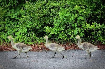 Photograph - Three Goslings by Cynthia Guinn