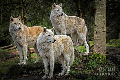 Photograph - Three Gray Wolves by Sonya Lang