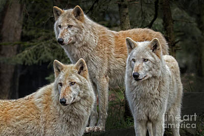 Photograph - Three Gray Wolves2 by Sonya Lang