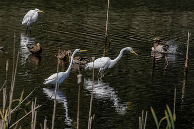 Photograph - Three Great Egrets Among The Ducks, No. 1 by Belinda Greb