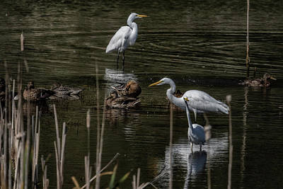 Photograph - Three Great Egrets Among The Ducks, No. 2 by Belinda Greb