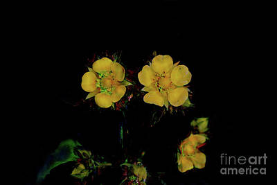 Photograph - Three In Yellow by Steven Parker