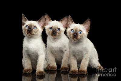 Three Kitty Of Breed Mekong Bobtail On Black Background Art Print by Sergey Taran