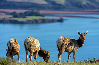 Photograph - Three Lady Elks by Jonathan Nguyen