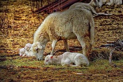 Three Lambs And A Sheep Art Print