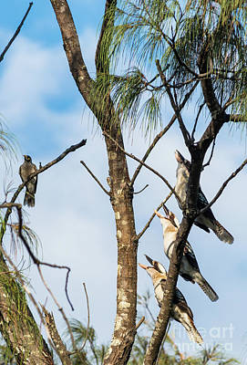 Photograph - Three Laughing Kookaburras by Andrew Michael