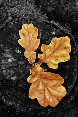 Photograph - Three Leaves On Black by Mihaela Pater