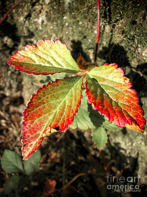 Photograph - Three Leaves by Todd Blanchard
