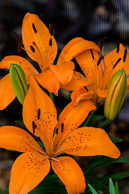 Photograph - Three Lilies by Ed Gleichman