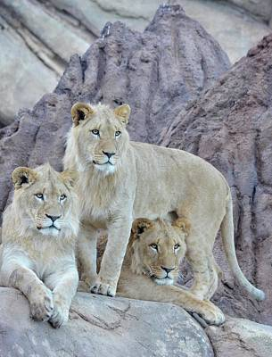 Photograph - Three Lion Princes by Richard Bryce and Family