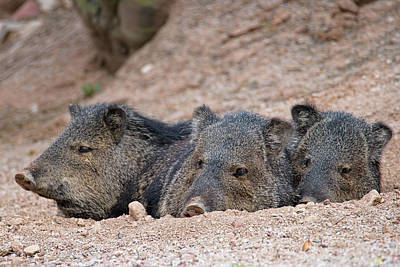 Photograph - Three Little Pigs by Dan McManus