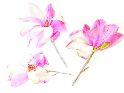 Art Print featuring the photograph Three Magnolia Flowers by Linde Townsend