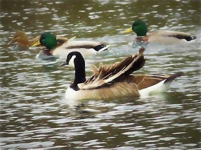 Digital Art - Three Mallard Ducks One Canada Goose by Rusty R Smith