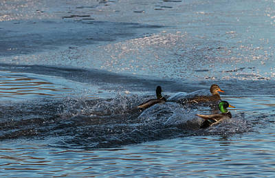 Photograph - Three Mallard Splash by Patti Deters