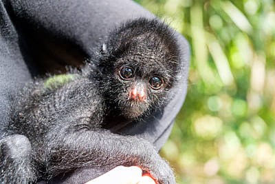 Benis Photograph - Three Month Old Spider Monkey by Jess Kraft