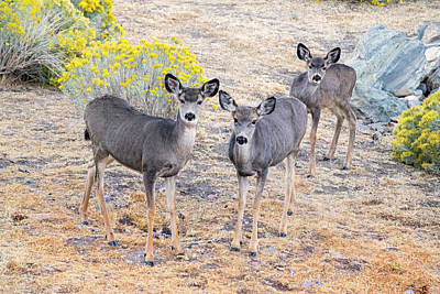 Art Print featuring the photograph Three Mule Deer In High Desert by Frank Wilson