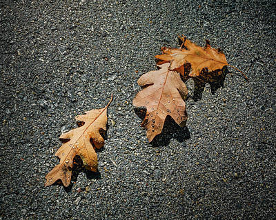 Close-up Photograph - Three Oak Leaves by Scott Norris