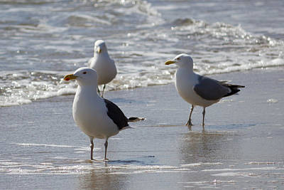 Photograph - Three Of A Kind - Seagulls by Kirkodd Photography Of New England