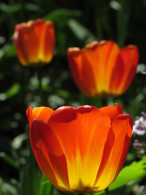 Photograph - Three Orange And Yellow Tulips by John Topman