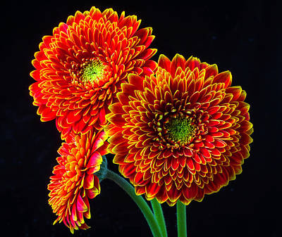 Gerbera Daisy Photograph - Three Orange Mums by Garry Gay