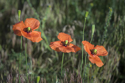 Photograph - Three Orange Poppies Dsc04518 by Greg Kluempers