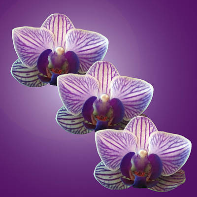 Three Orchids Art Print