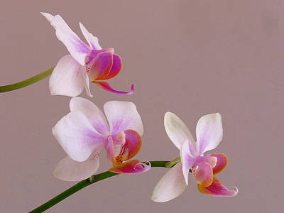 Photograph - Three Orchids by Juergen Roth