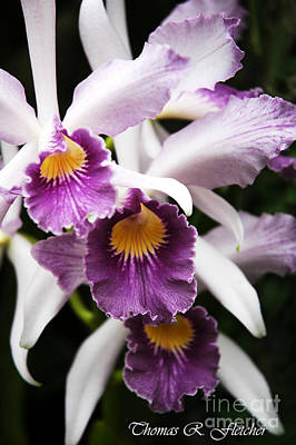 Soap Suds - Three Orchids by Thomas R Fletcher